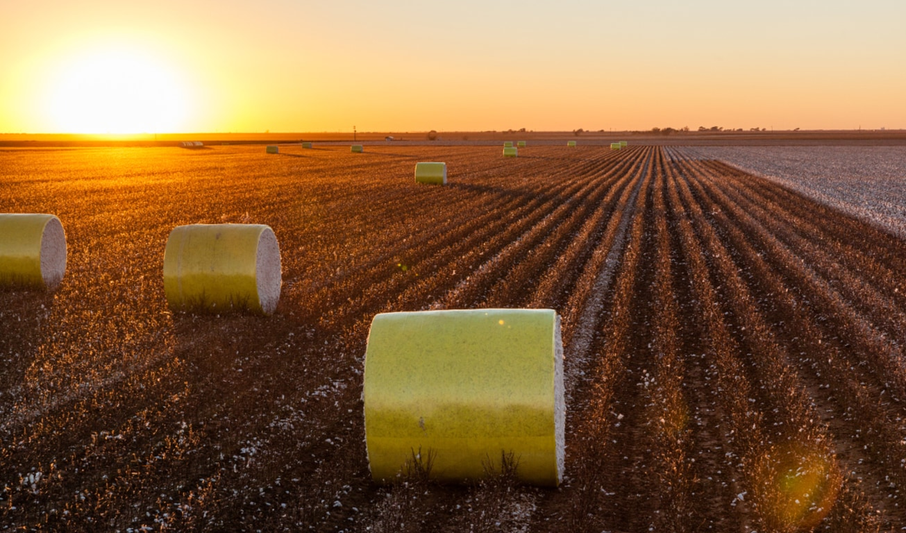 Bales of wrapped cotton in a partially harvested field with the sun setting in the background
