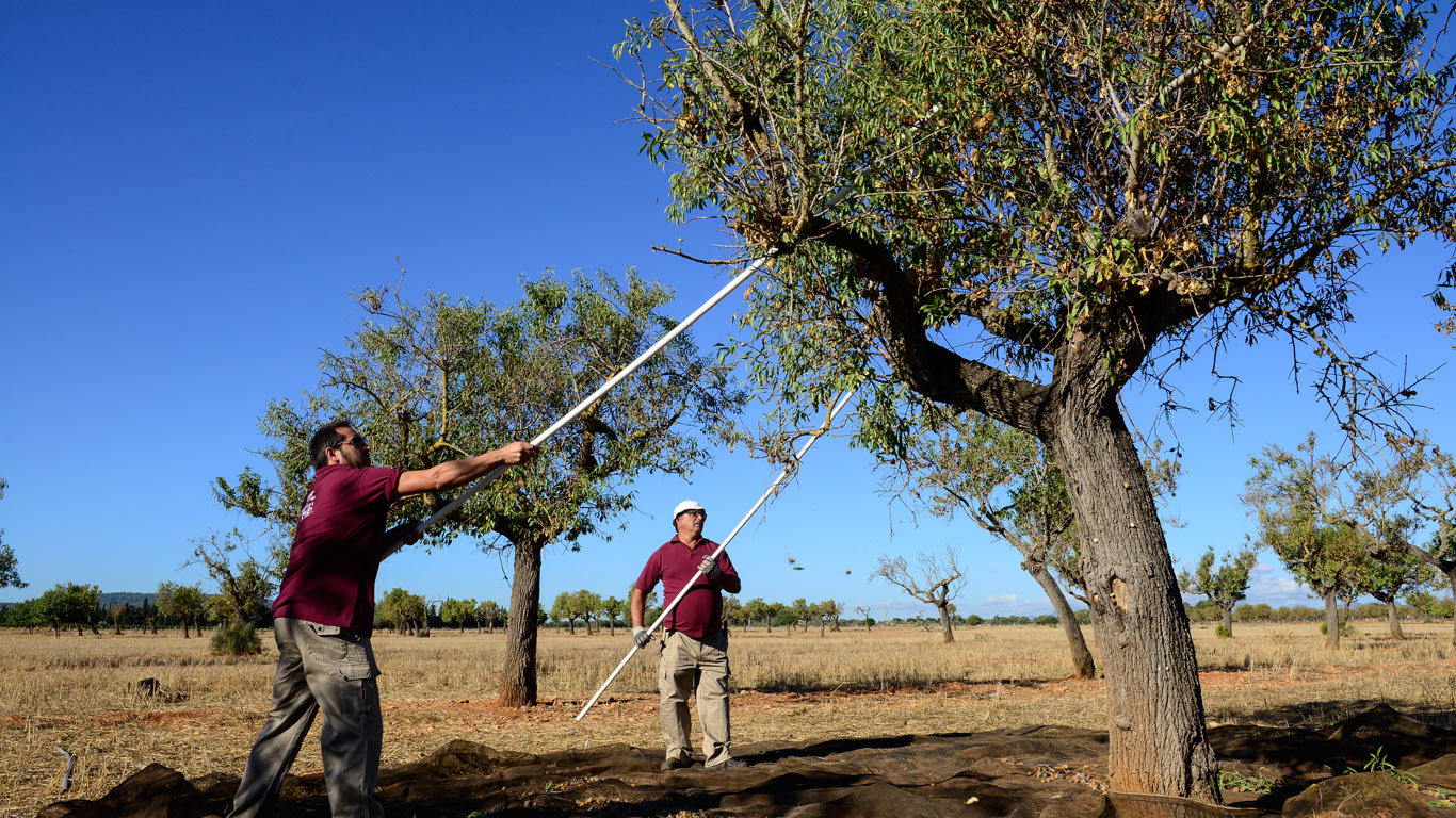 Harvesting almonds is hard work. Although there are machines, the manual harvest is much gentler to the fruit.