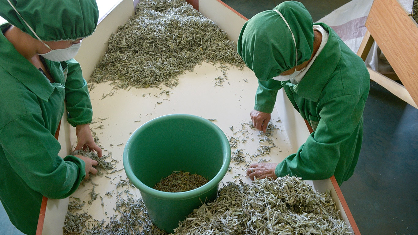 Manual labour is still widespread in the processing of the herb plants.