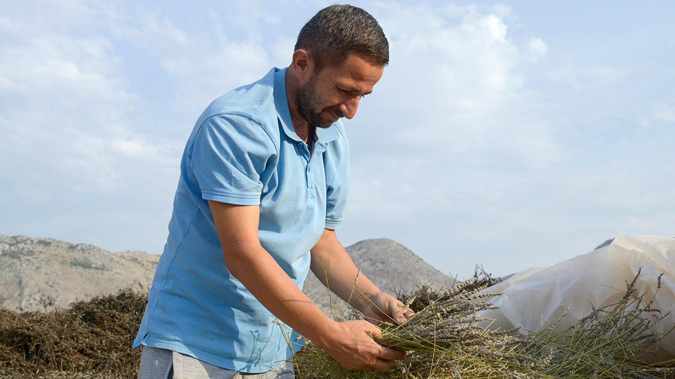 Ilir Gjolaj gives quality top priority and checks the sage harvest himself.