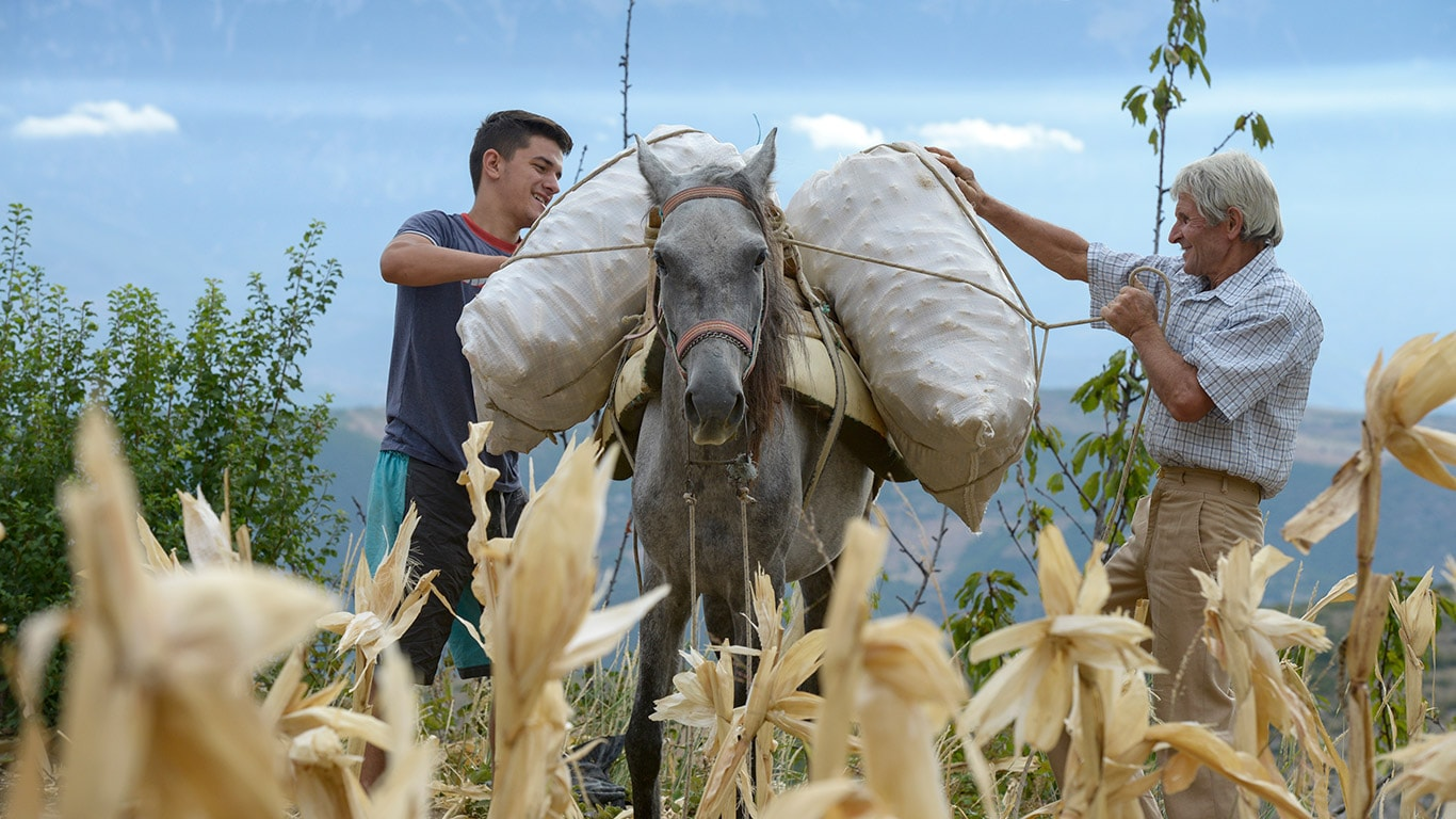 Animal labour still plays an important role in Albania's farming sector.