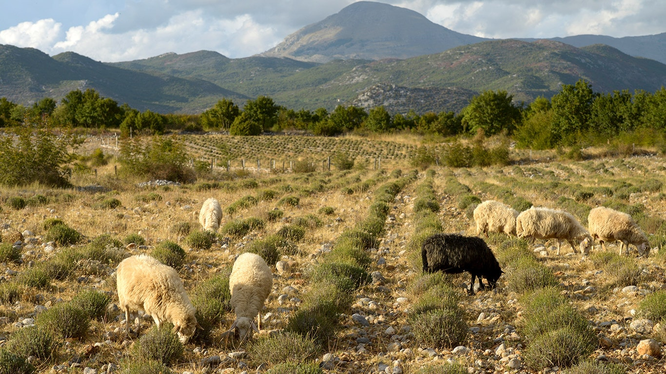 Sheep graze the weeds between the rows of cultivated herbs.