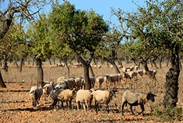 Keeping sheep on stone fruit plantations is still a distinctive character of the island's landscape.