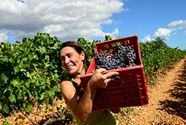 September grape harvest on the finca Biniagual, close to the village Binissalem.